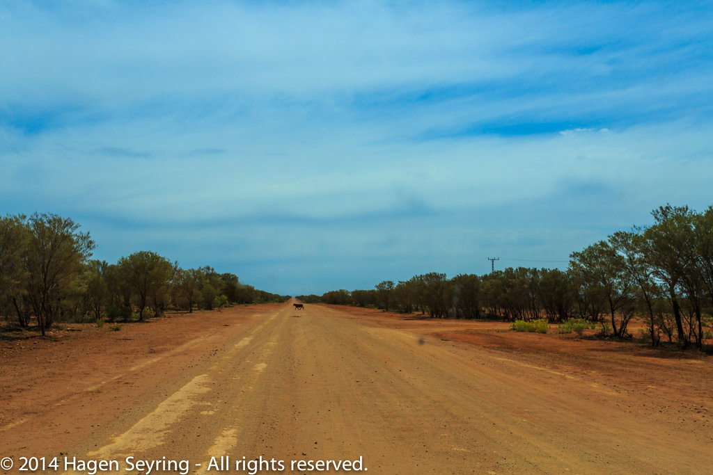 Unsealed street with a cattle in the outback