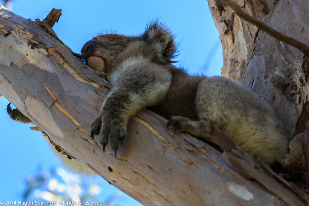 Sleeping Koala in eucalyptus trees