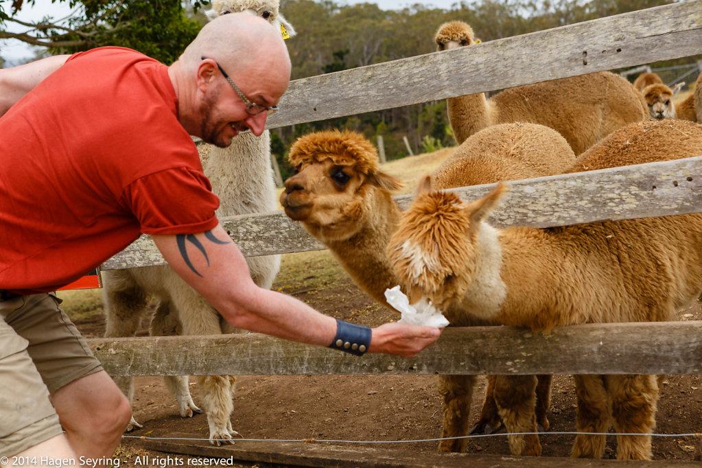Hagen feeds the Alpacas
