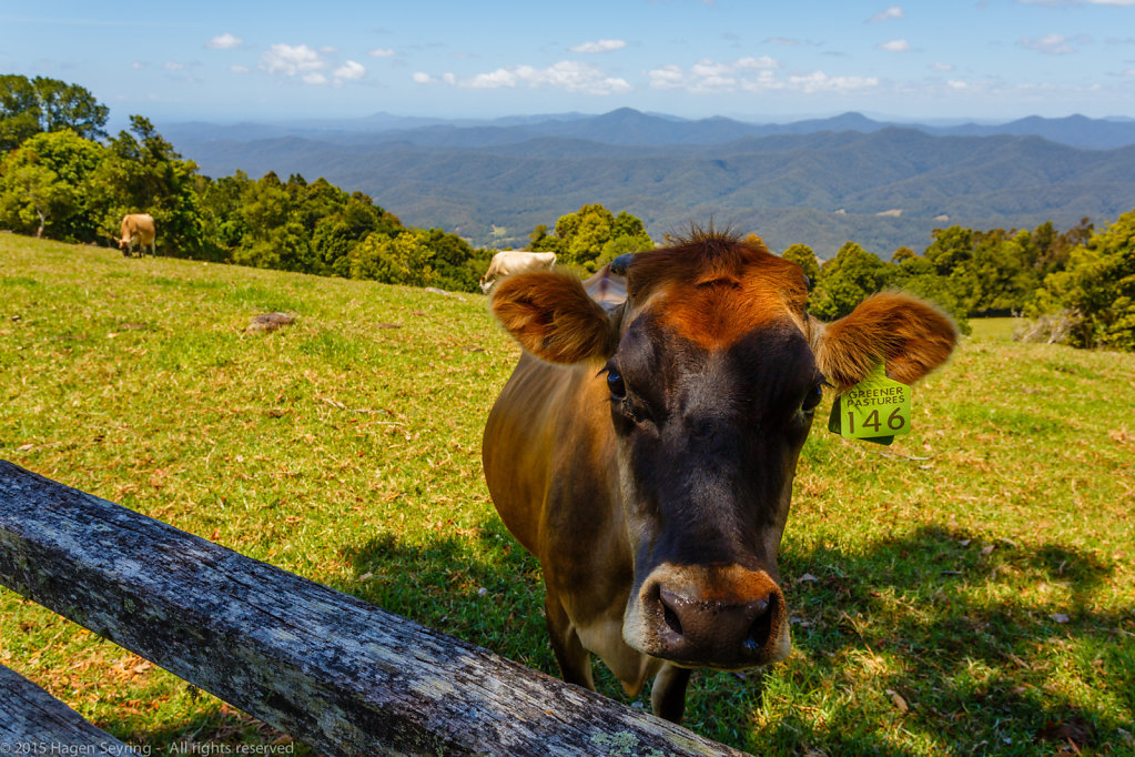 Cow on a pasture on the Griffiths Lookout - Dorrigo Mountain Top