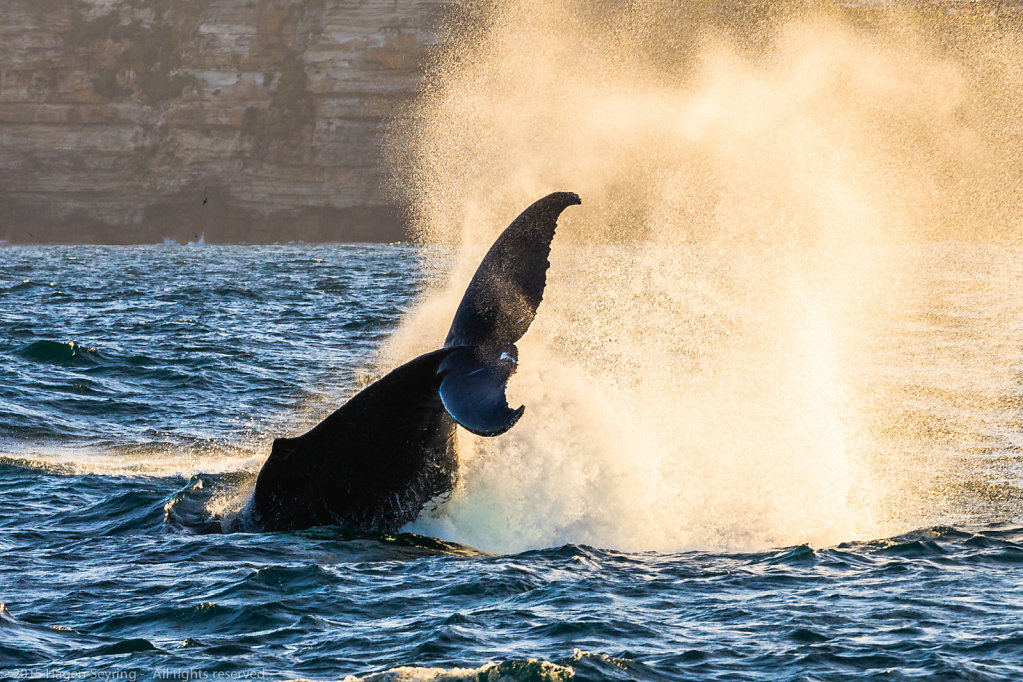 Whale before Sydney Harbour