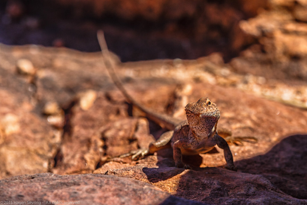 Lizzard in the Kings Canyon