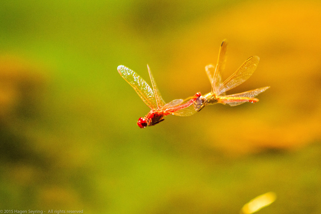 Flying Dragonfly  across the Waterhole in the Simpsons Gap